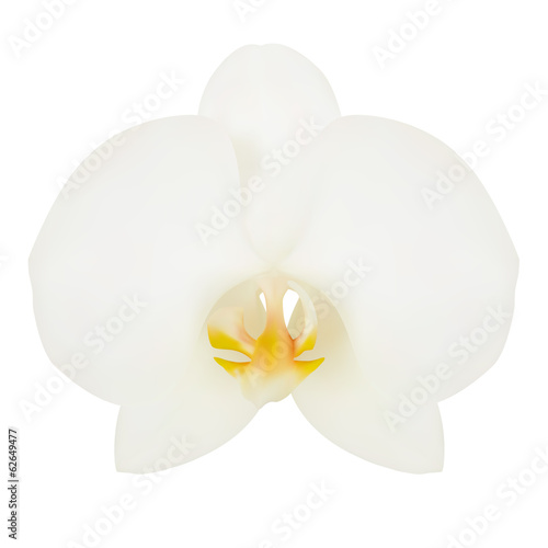White flower of Orchid. Vector illustration. Isolated white