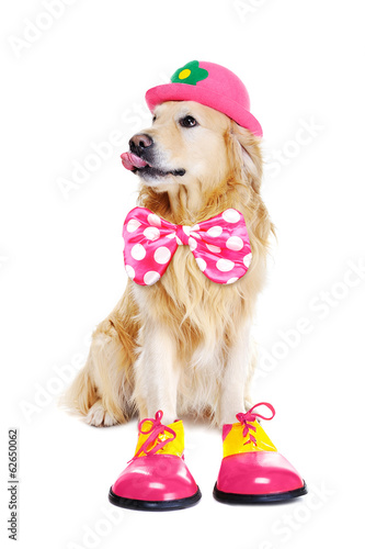 golden retriever as clown on white background