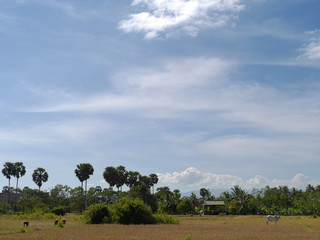 Rice fields by Angkor, Cambodia