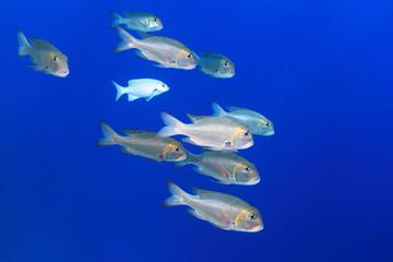 Shoal of Bigeye emperor fish
