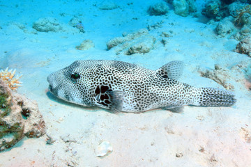 Giant puffer fish (Arothron stellatus)