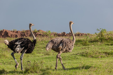 Wildlife Ostrich Birds