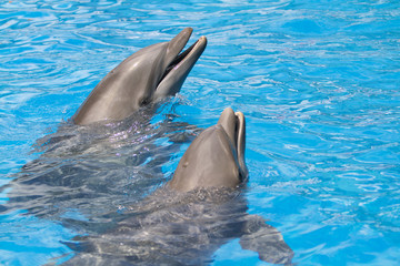 Pair of dolphins with head out of the water