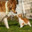 Collie begrüßt Maine Coon Kätzchen