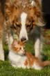 Collie schnuppert an Maine Coon Kätzchen