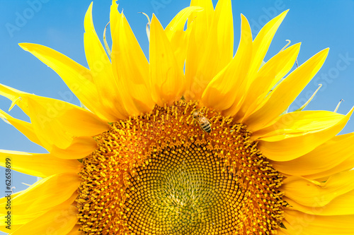 Sunflower and bee on a background of blue sky