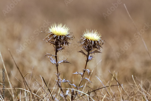Dry flower in the field, blurred background