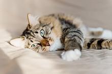 Graue Katze liegt auf dem Bett