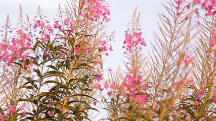 Растение «Иван чай» цветёт