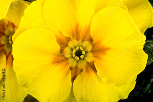 yellow flower primrose