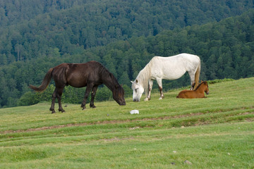 Horses Grazing, Montenegro