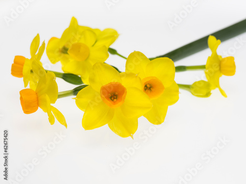 Keuken foto achterwand Narcis 水仙のグランドソレドール