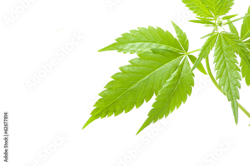 cannabis plant, marijuana on white background
