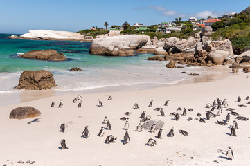 Boulder Beach with Jackass Penguins, South Africa