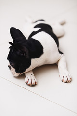 black and white french bulldog on white background