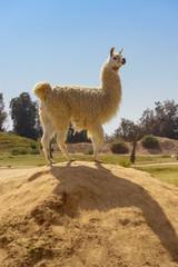 Cute Lama Standing on Rock