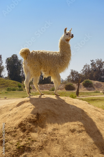 Cute Lama Standing on Rock