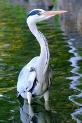 水辺の青サギ