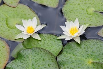 地塘に咲くヒツジグサ