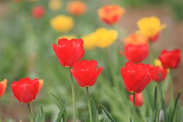tulipani fioritura di primavera