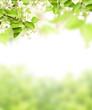 Obrazy na płótnie, fototapety, zdjęcia, fotoobrazy drukowane : Flowers of apple