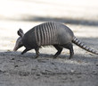 Armadillo Crossing The Road