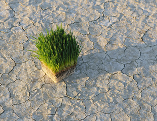 Black Rock Desert In Nevada. Arid Cracked Crusty Surface Of The Salt Flat Playa. Wheatgrass Plants With A Dense Network Of Roots In Shallow Soil With Bright Fresh Green Leaves And Stalks.