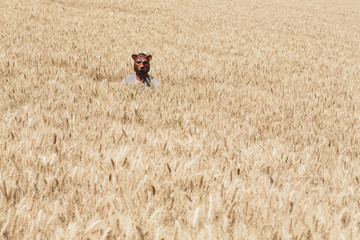 Wheat Fields In Washington. A Person Wearing A Bear Mask Looking Up Over The Ripe Crop.