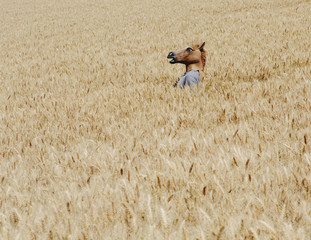 Wheat Fields In Washington. A Person Wearing A Horse Head Animal Mask Emerging Above The Ripe Corn.
