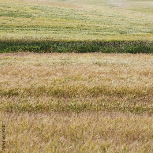 A Wheat Field With A Ripening Crop Of Wheat Growing. Mixed Crops, Wheat And Grasses. Wind Blowing Over The Top Of The Crops.