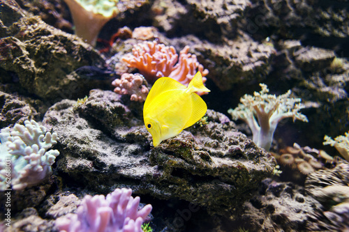 Yellow Tang, Zebrasoma flavescens - tropical marine fish