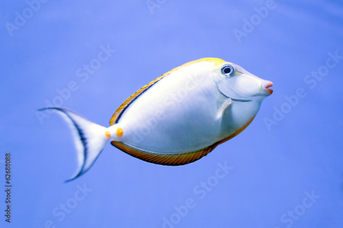 Close-up image of Unicorn Surgeonfish in water