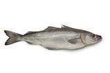 Fresh atlantic pollock fish