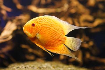 Exotic fish Cichlasoma severum