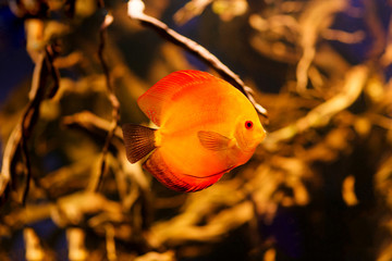 Fire red Discus fish from Amazon River