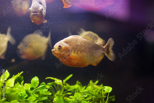 Red piranha (Serrasalmus nattereri) in natural environment