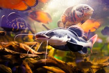 Closeup redtail catfish, Phractocephalus hemioliopterus
