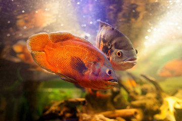 Two beautiful and exclusive red oscar cichlid