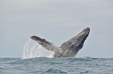 Ecuador, Buckelwal springt in Wasser