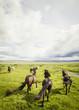 Island, Islandpferde auf der Weide