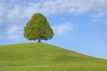 Schweiz, Limettenbaum in der Wiese