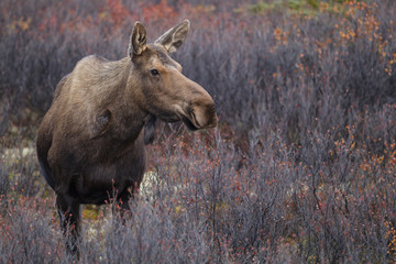 USA, Alaska, Kuh- Elche, die im Herbst in Denali National Park