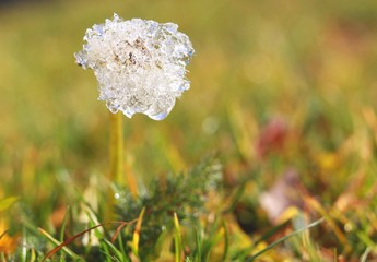 frost on dandelion