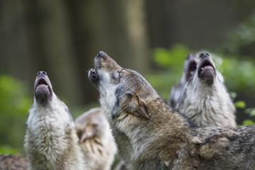 Deutschland, Bayern, Heulende Wölfe grau