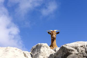 Spanien, Kantabrien, Picos de Europa National Park, Ziege in den Bergen