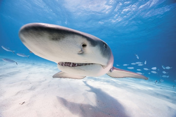 Bahamas, Lemon shark auf See
