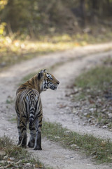 Indien, Madhya Pradesh, Bengal-Tiger in Kanha National Park
