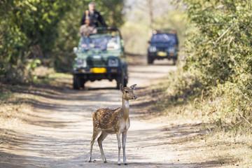 Indien, Uttarakhand, Axis Hirsche vor Jeeps mit Touristen in Jim Corbett Nationalpark