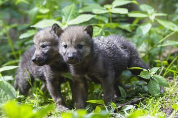 Deutschland, Bayern, Grauwolfswelpenim Wald