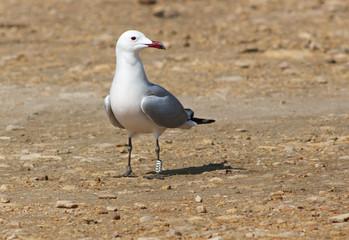 Audouins's gull Larus audouinii.